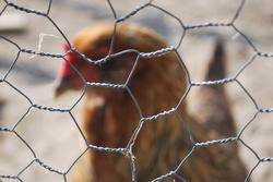 11276   chickenfence