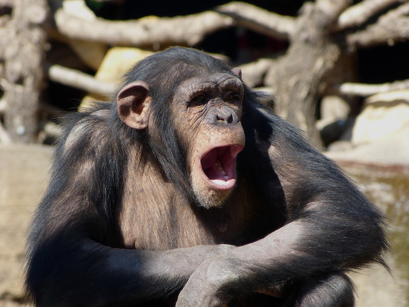 A chimpanzee feeling hot and sleepy in the Bioparc, Fuengirola Zoo