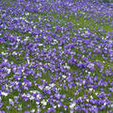 7893   Carpet of purple crocus
