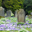 7877   Crocus headstones in Spring