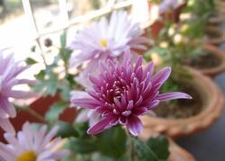 11047   cryshanthemum