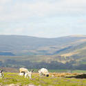 7760   Sheep in the Yorkshire Dales
