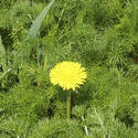 8158   dandelion and camomiles