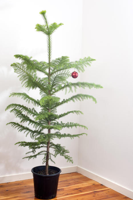 A little natural potted pine Christmas tree with a single red bauble hanging from its branches standing in the corner of a room