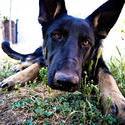 10325   dog stare at camera 001