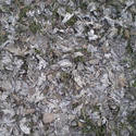 8240   dry leaves of a maple