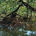 10527   forest waterhens on nest