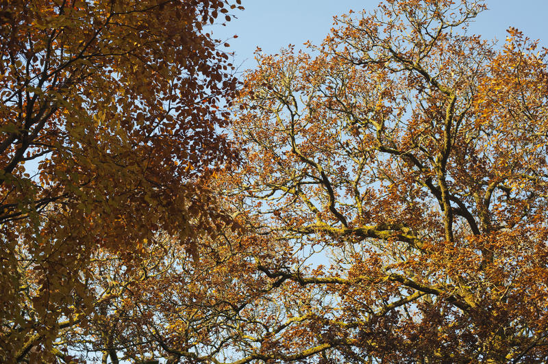 Golden Leaves of Tall Trees at the Woods in Worms Eye View on Light Blue Sky Background.