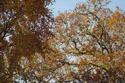 10958   Golden Leaves of Tall Trees at the Woods