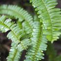 10959   Sword fern fronds