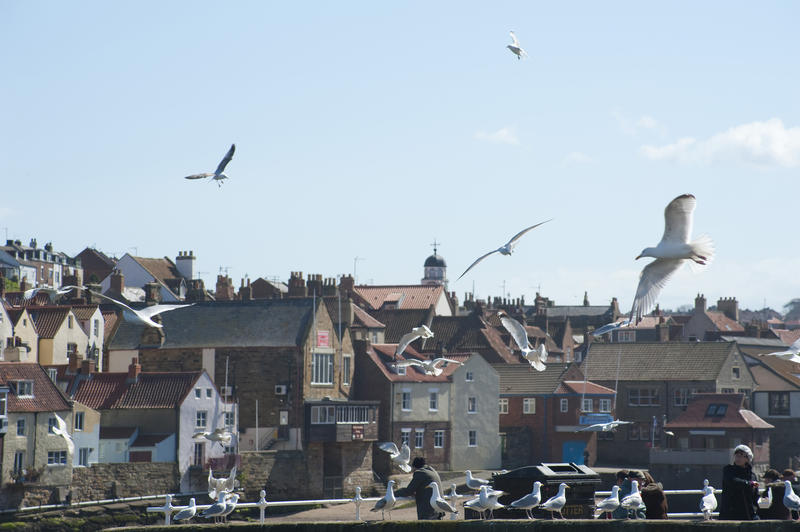 Seagulls flying and wheeling above the harbour at Whitby on the Yorkshire coast