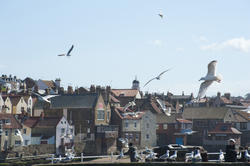 8027   Seagulls at Whitby