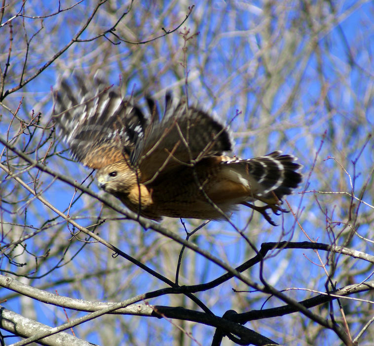 <p>Hawk Searching for Food</p>