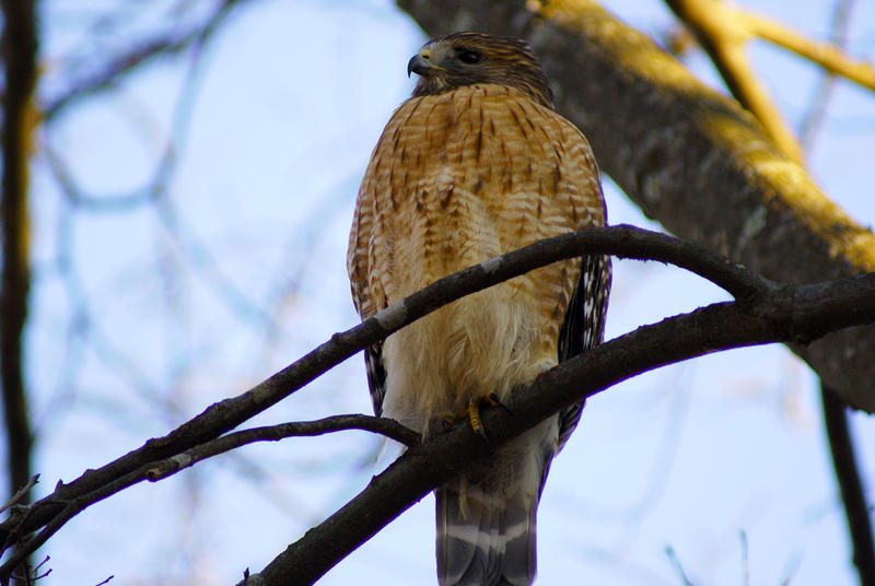 <p>Hawk on the Lookout</p>