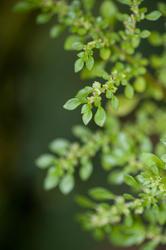 10962   Green Foliage