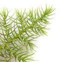 10963   Norfolk Island pine branch