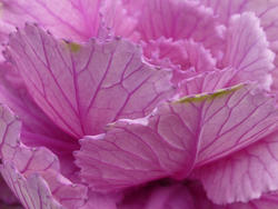 9839   Ornamental purple cabbage