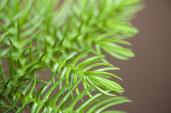 10966   Close Up of Fresh Green New Pine Needle Growth