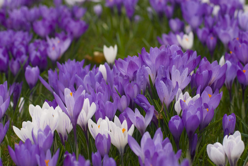Closeup of colourful white and purple crocus flowers in a meadow in spring