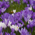 7905   Purple crocus flowers