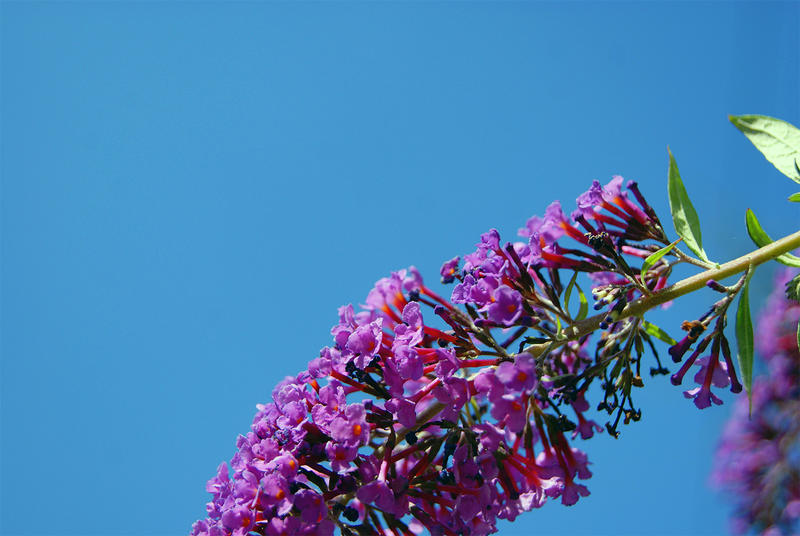 <p>Unflowered plant against a blue sky</p>