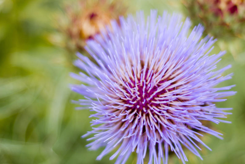 close up on the flower head of a purple thistle