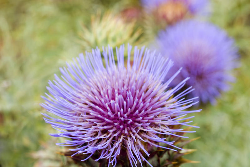 Close up detail of a flowering purple thistle the national symbol of Scotland, growing outdoors in a meadow