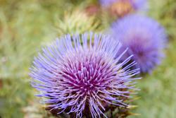 10949   Flowering purple thistle