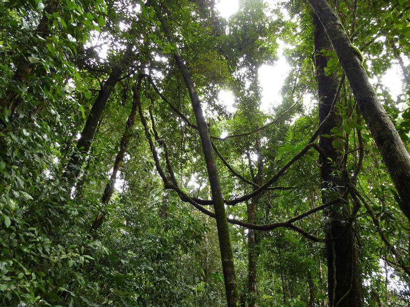 Rainforest background looking up into the lush green canopies of the tall trees