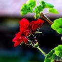 7702   Red flower