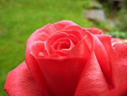 9833   red rose