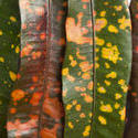 10931   Colorful variegated leaves of a Croton