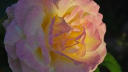 11280   rose