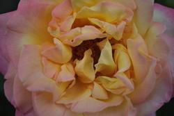 11282   rose2