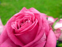 9834   pink rose