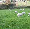 9971   Flock of sheep in a lush green pasture
