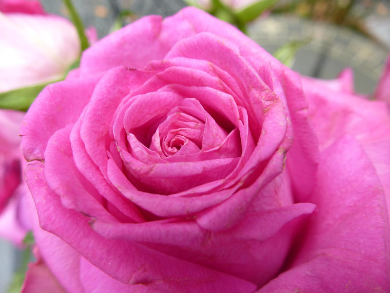 a weathered looking pink rose flower thats looks past its best