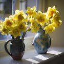 7880   Backlit vases of yellow daffodils