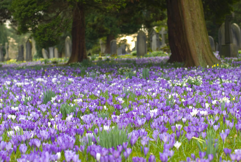 Spring crocus carpeting the ground under the trees in a rural churchyard