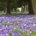 7906   Spring crocus in a churchyard