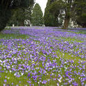 7881   Green Lawn covered in crocus flowers