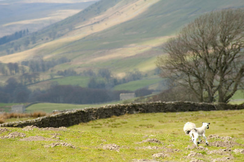 Spring lambs playing in a stone walled pasture in the foothills of the Yorkshire Dales