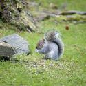 9837   Wild grey squirrel foraging on seeds