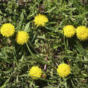 8147   symmetric bush of dandelions
