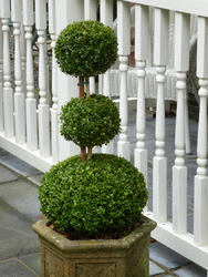 9840   Neatly manicured potted topiary tree