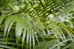10971   Lush green tropical cane plam fronds