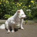 8244   white dog yellow flowers