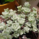 12914   Green whorled decorative foliage on an Aeonium