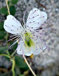 16770   Caper flower