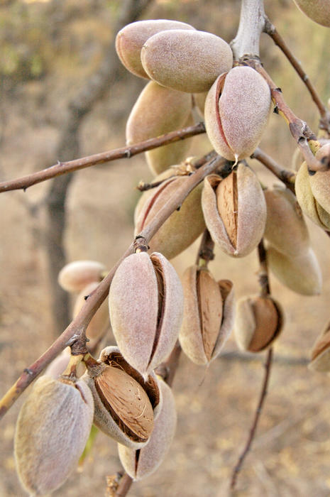 <p>Almonds</p>